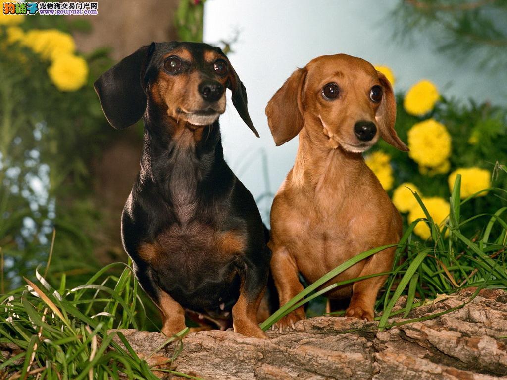 腊肠犬价格|纯种腊肠犬多少钱|腊肠犬图片|买卖腊肠犬