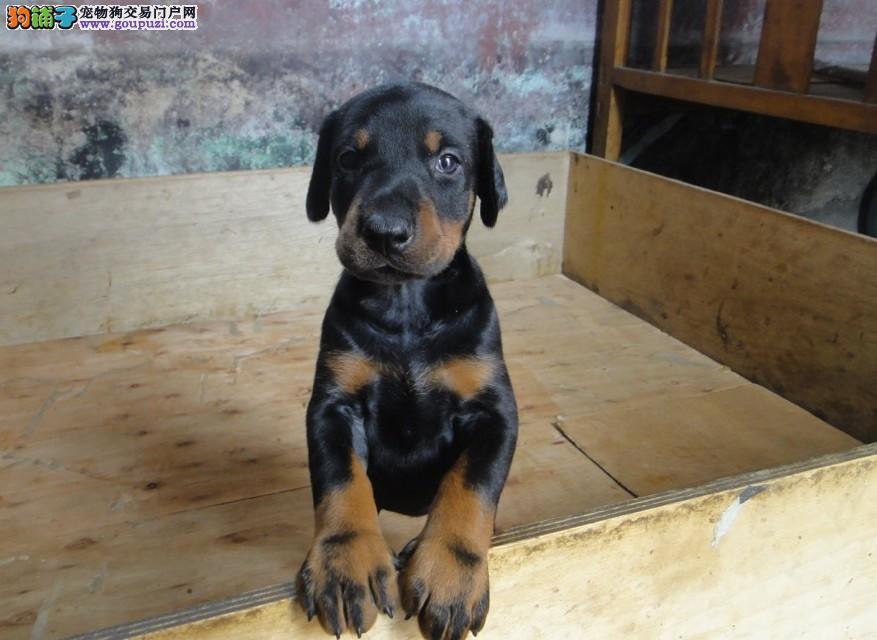 出售正宗血统优秀的郑州杜宾犬一宠一证视频挑选