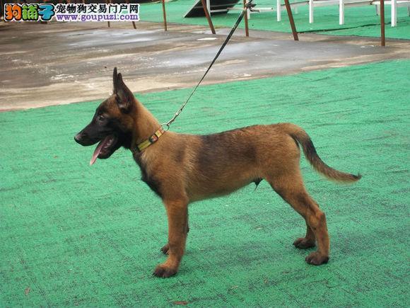 重庆出售颜色齐全身体健康马犬签协议上门选