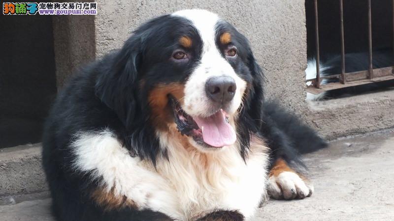 伯恩山犬,山地犬,签协议质保,可视频