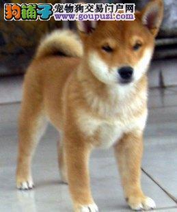 火爆出售血统纯正的西安柴犬签订协议终身质保