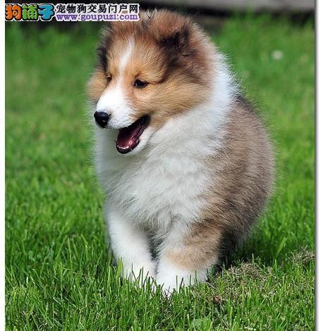 聊城最大犬舍出售多种颜色喜乐蒂微信咨询看狗狗照片