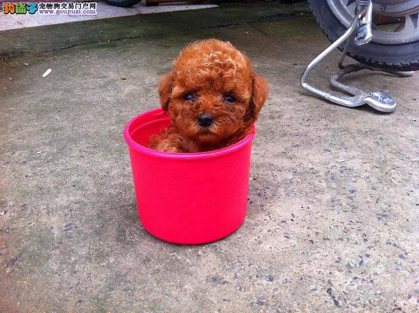 广州边度有纯种茶杯犬卖?要几多钱?