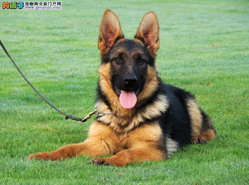 狼青幼犬出售可以签协议,售后保障