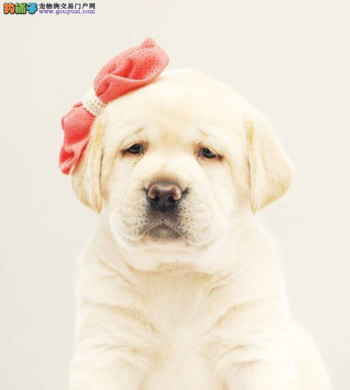 拉布拉多犬,聪明忠诚 犬 简单动作以会