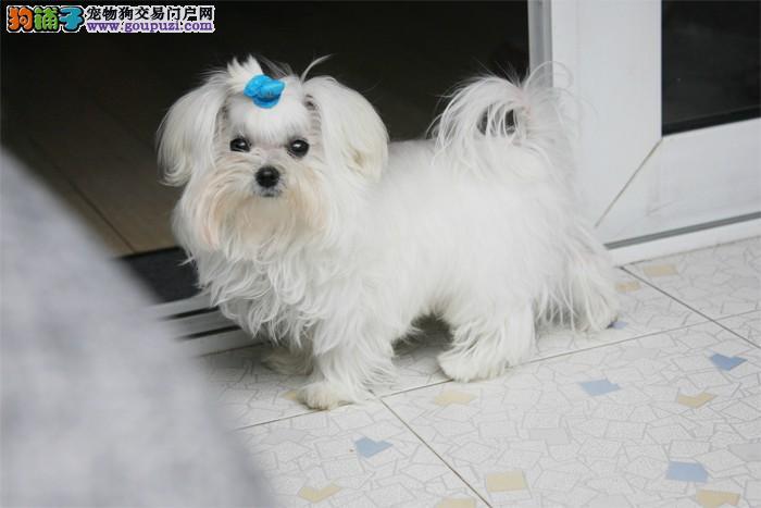 引进的马尔济斯犬幼犬出售。。。