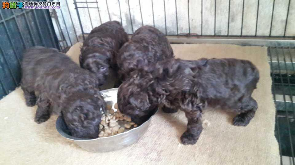 云南哪里有卖狗的地方 临沧泰迪犬价格