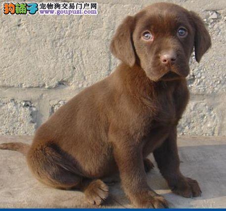 云南最好的萌宠基地购买最好的纯种名犬拉布拉多犬