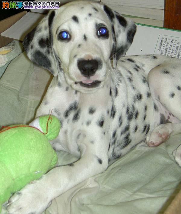 正规犬舍出售精品斑点幼犬 公母均有