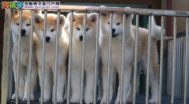 秋田犬,纯种日系,可签协议,看大狗