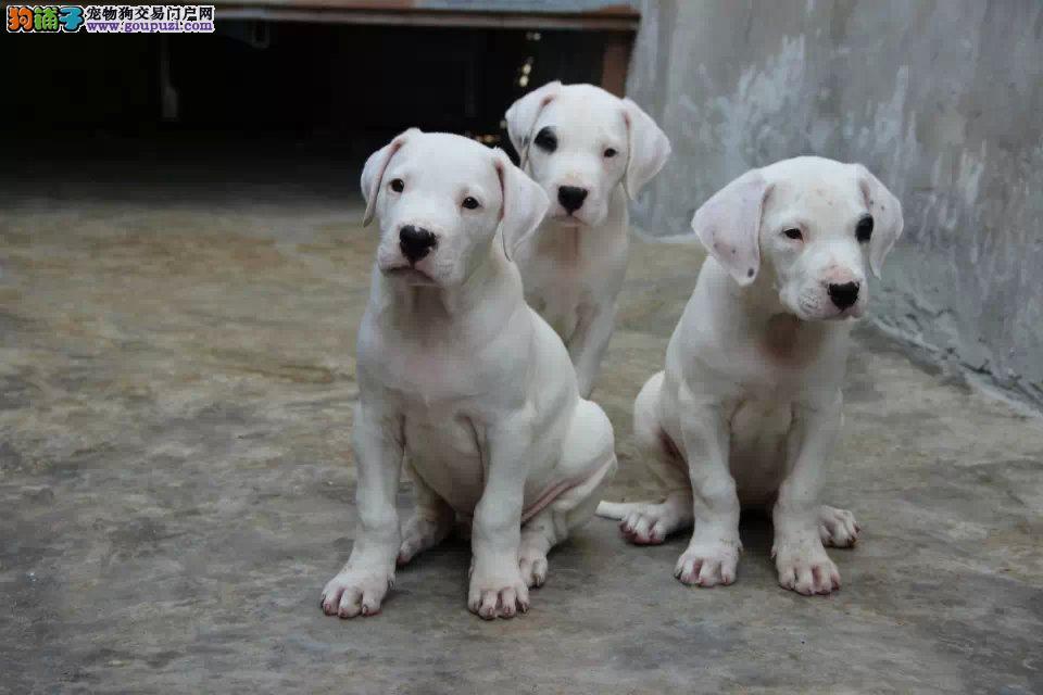 杜宾犬,纯种出售,可上门看狗,保健康,包活