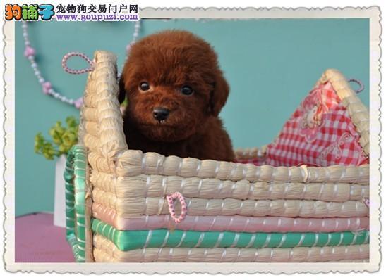 泰迪犬,专业养殖,常年全国销售,签质保可视频