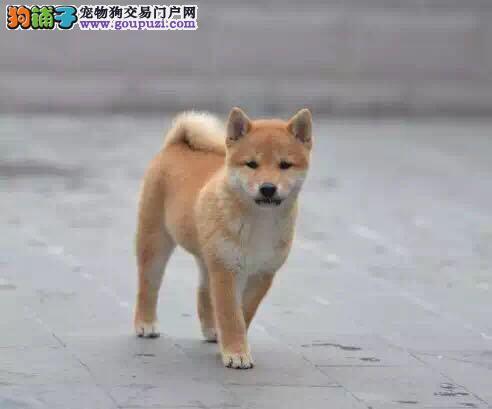 纯种柴犬,性格温顺,短毛好打理,可上门看狗