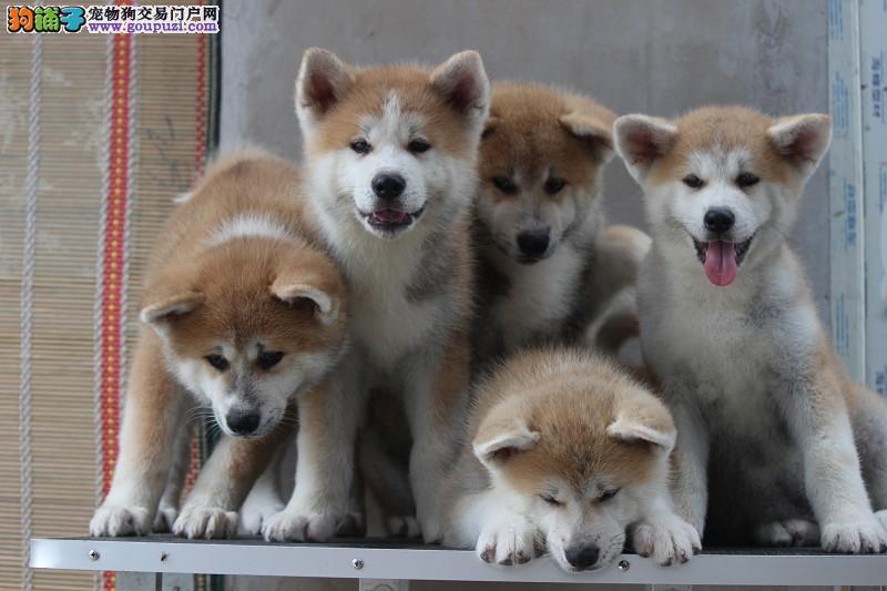 纯种日系,秋田犬,专业养殖,24小时营业