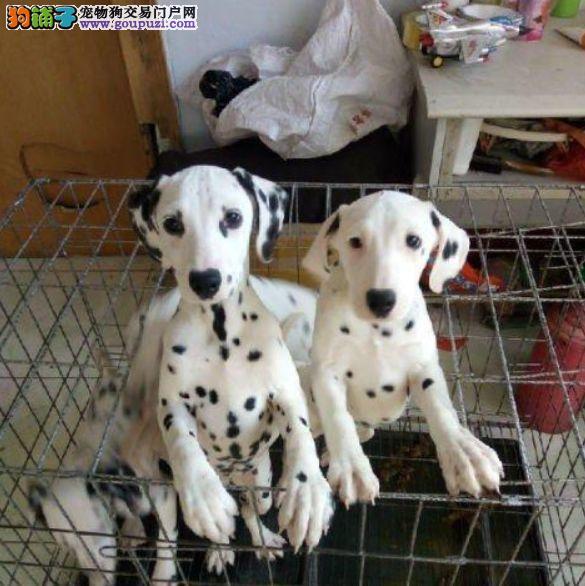 斑点犬,大麦町犬,专业繁殖,常年全国发货
