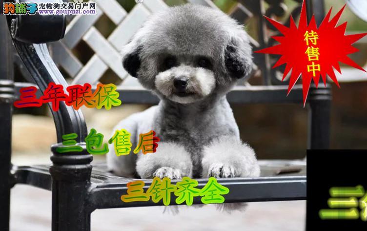 泰迪熊 纯种泰迪熊犬 灰色泰迪熊 茶杯犬