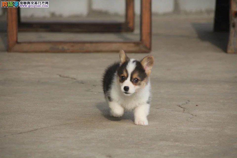 柯基犬,威尔士纯种,幼犬,有证书全国包邮