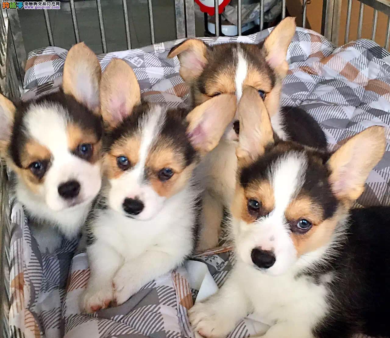 柯基犬,威尔士纯种健康,可看大狗,自家繁殖保活