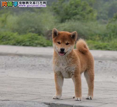 纯种柴犬出售、CKU认证犬舍、讲诚信信誉好