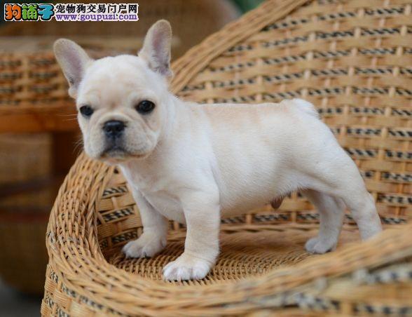 赛级法国斗牛犬幼犬 CKU认证绝对保障 全国送货上门
