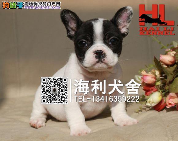 纯种斗牛犬繁殖基地出售法牛宝宝 保证品质
