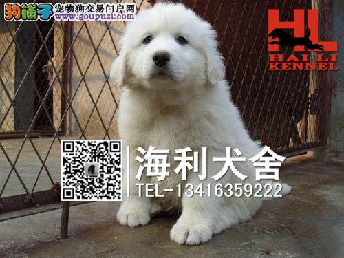 极品大白熊幼犬 血统纯正 身体健康 保证品质