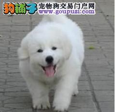 24小时微信服务热线:15895499317极品大白熊、斗牛等