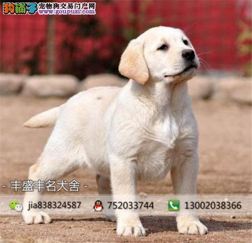 冠军级拉登血系拉布拉多幼犬待售 可签订纯正活体协议