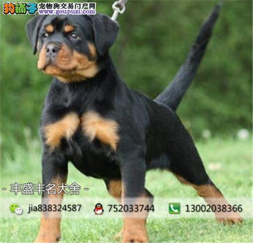 防暴犬罗威纳 基地出售高品质罗威纳幼犬 可签协议