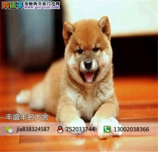 犬舍出售顶级日系纯种柴犬幼犬 保证纯种健康