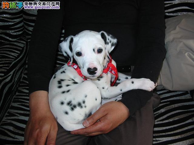 精品纯种海口斑点狗出售质量三包喜欢加微信可签署协议