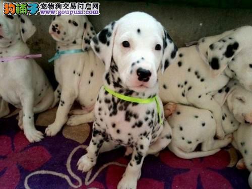 顶级优秀的纯种斑点狗热卖中全国送货上门