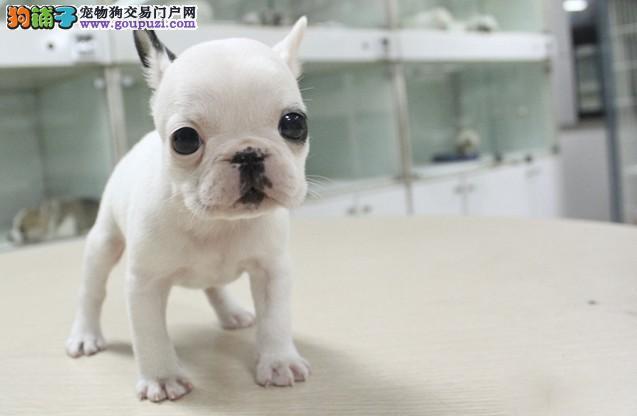 出售高品质螺旋尾巴的西宁斗牛犬 可随时上门看种犬