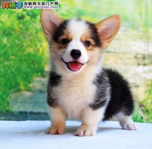 深圳哪里偶柯基犬卖/买,柯基犬多少钱,柯基犬好养吗