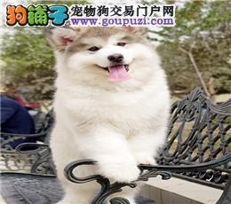 深圳哪里有纯种阿拉斯加犬买,阿拉斯加犬多少钱