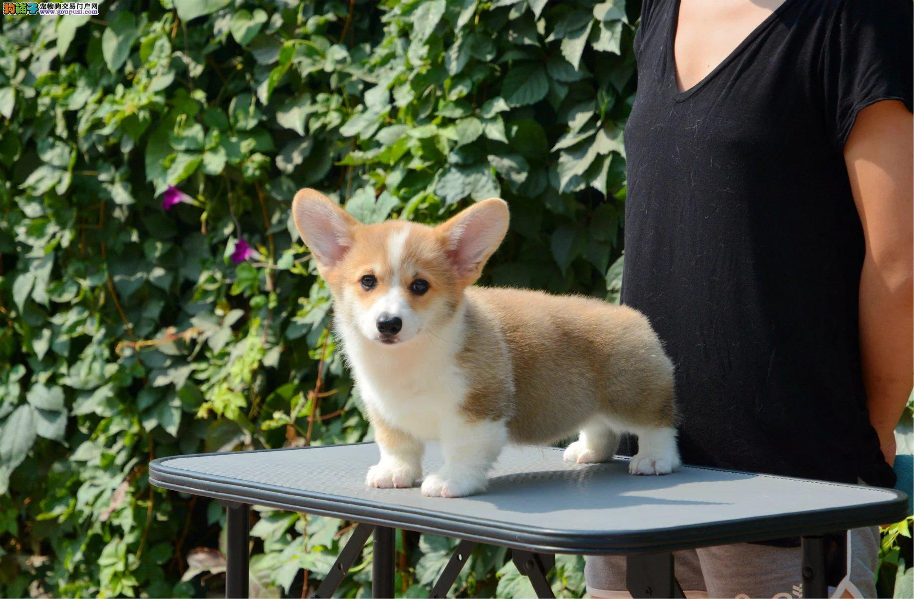 福建哪里买 纯种柯基幼犬 质量三包