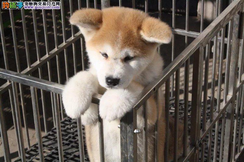 福建哪里买 纯种秋田幼犬 质量三包