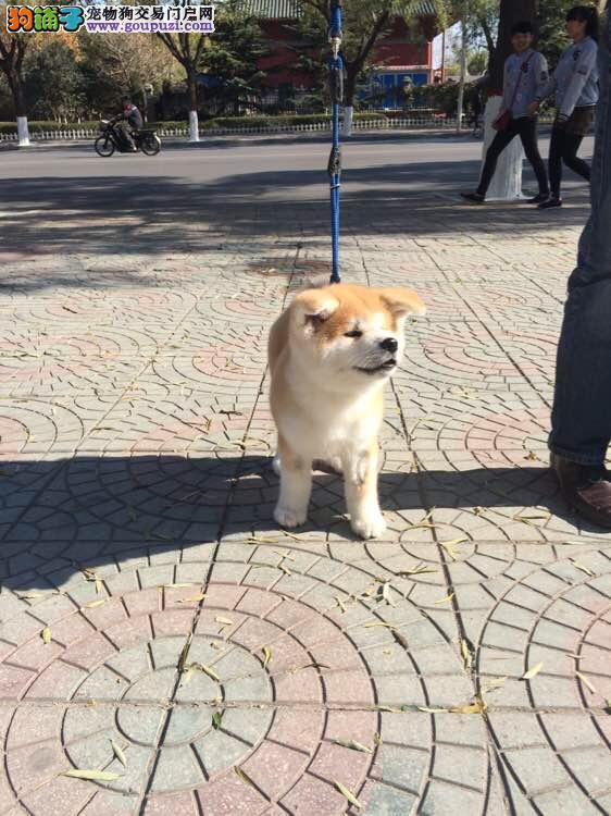 秋田犬带血统出售中 终身质保 质量三包 可签协议