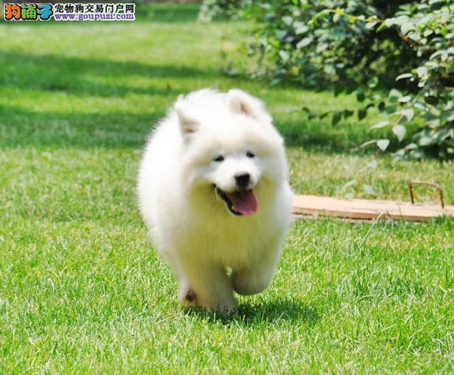 常年出售澳版萨摩幼犬骨量毛量品相全到位