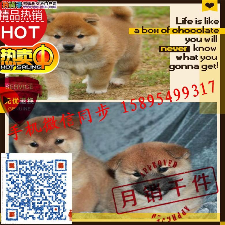 24小时微信服务热线:15895499317极品柴犬、斗牛等