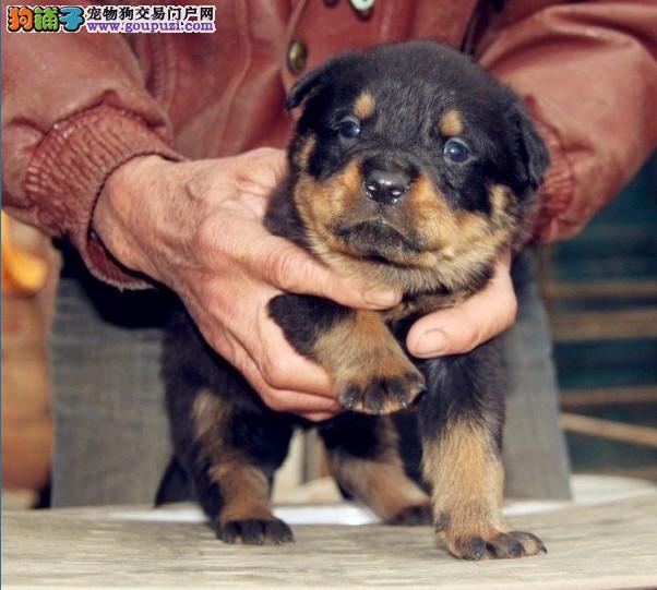 重庆南岸罗威纳带血统出售中 终身质保 可签协议