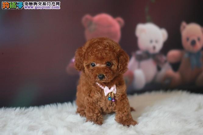 重庆哪里有泰迪犬宠物狗出售 诚信交易 健康纯种质保