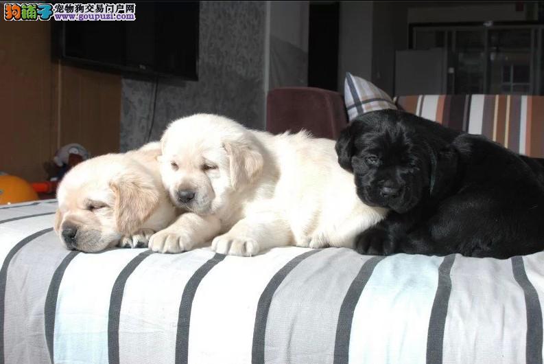 犬舍直销:十几个品种幼犬都有、健康纯种协议质保