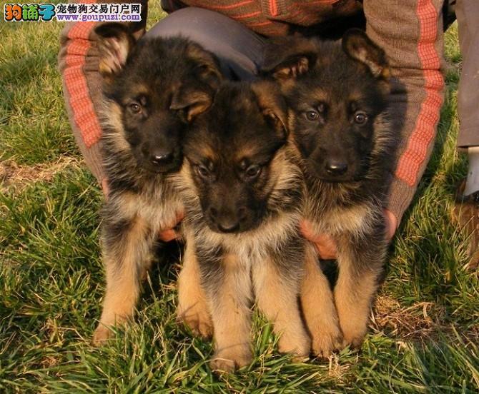 重庆哪里有德国牧羊犬出售 诚信交易 健康纯种质保