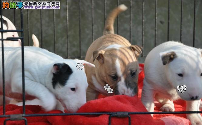 成都纯种牛头梗犬出售、犬舍直销、诚信交易、协议质保