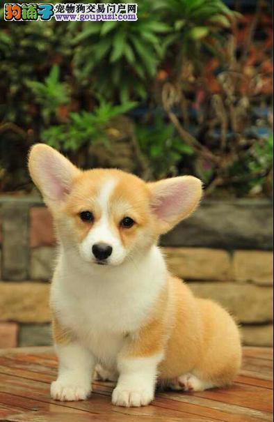 重庆柯基犬幼犬出售 柯基价格多少钱 柯基图片视频