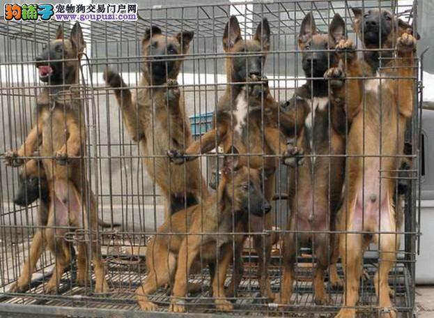 成都纯种马犬犬出售、犬舍直销、诚信交易、协议质保