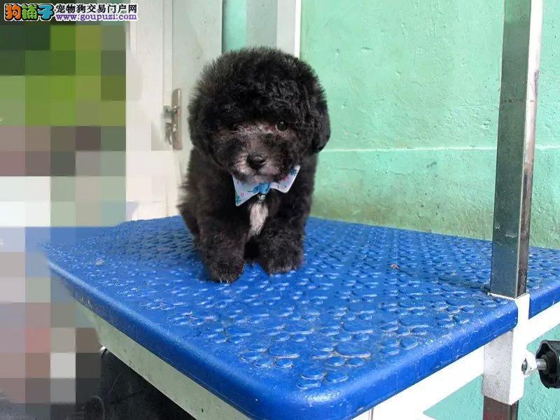 热销多只优秀的威海纯种茶杯犬幼犬国际血统证书