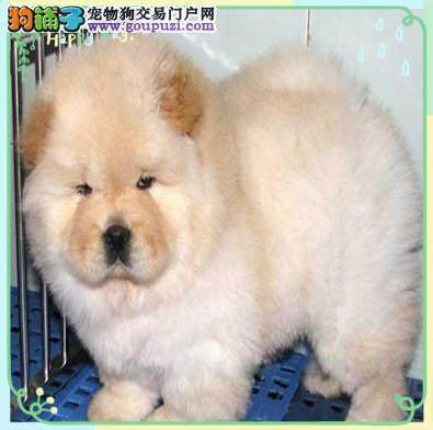 康泰名犬出售纯种面包脸大肉嘴棕色奶白色松狮幼犬