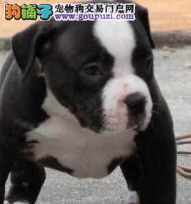 康泰名犬出售威猛先生美国恶霸犬幼犬